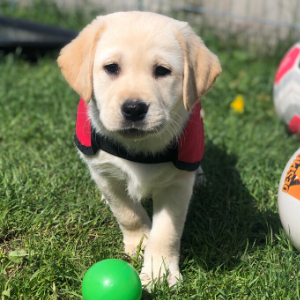 Sponsor autism assistance puppy in training - Indi