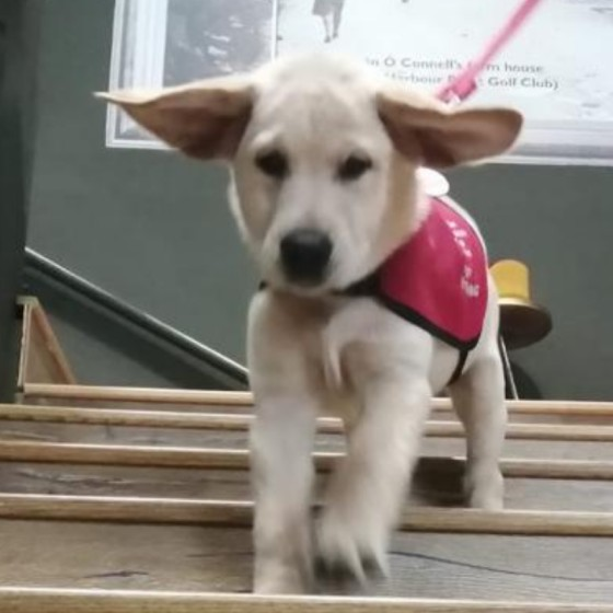 Sponsor an autism assistance puppy in training - Isak